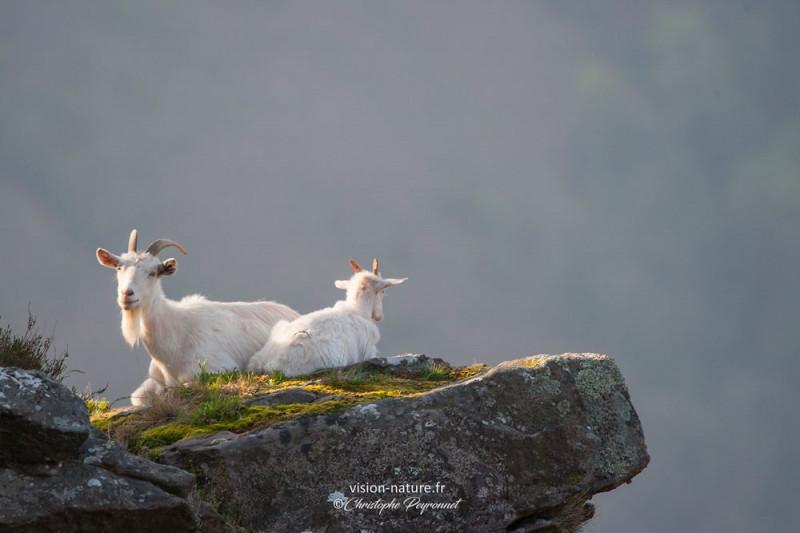 Chèvre sur les falaises basques