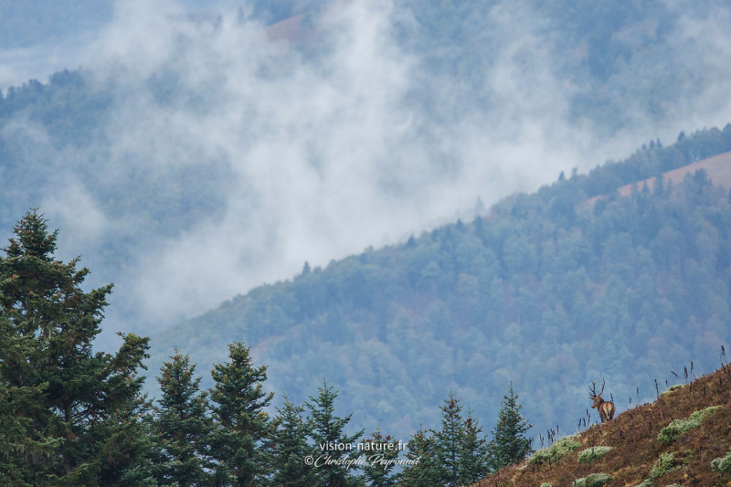 Cerf dans la brume