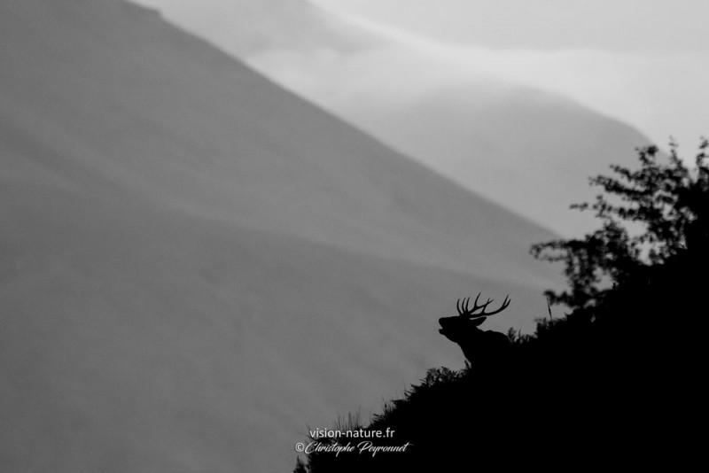 Brame du cerf en ombres  chinoises