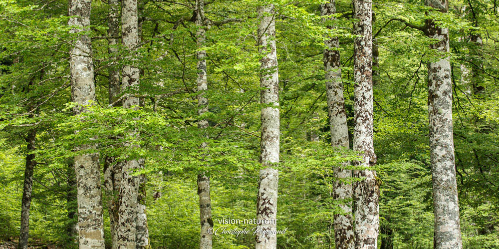 Forêt d'Iraty au printemps