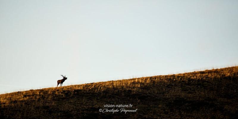 Brame du cerf en sur les hauteurs