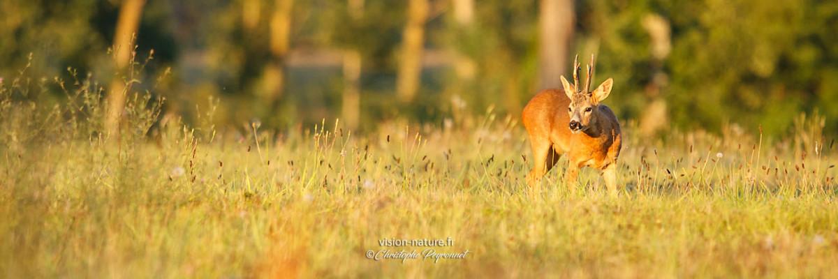 Chevreuil au coucher du soleil